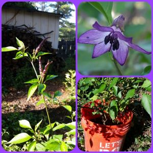 Collage of the purple cayenne.