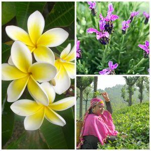 Plumeria, Lavender and Green Tea