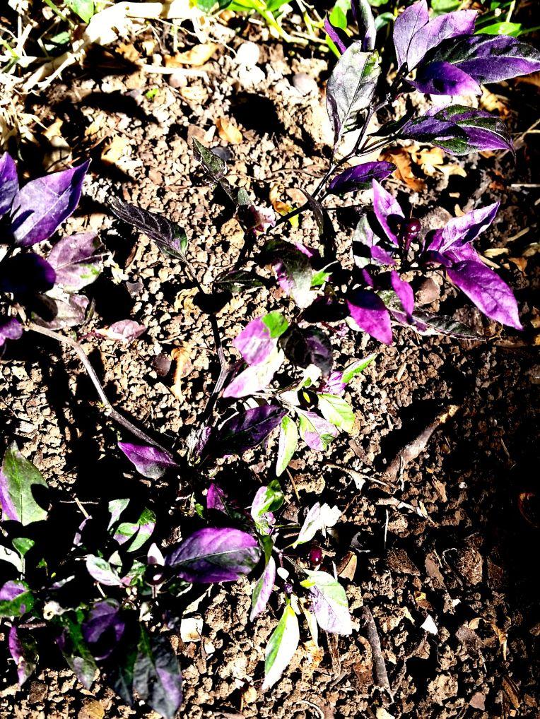Purple Flash Mini Pepper