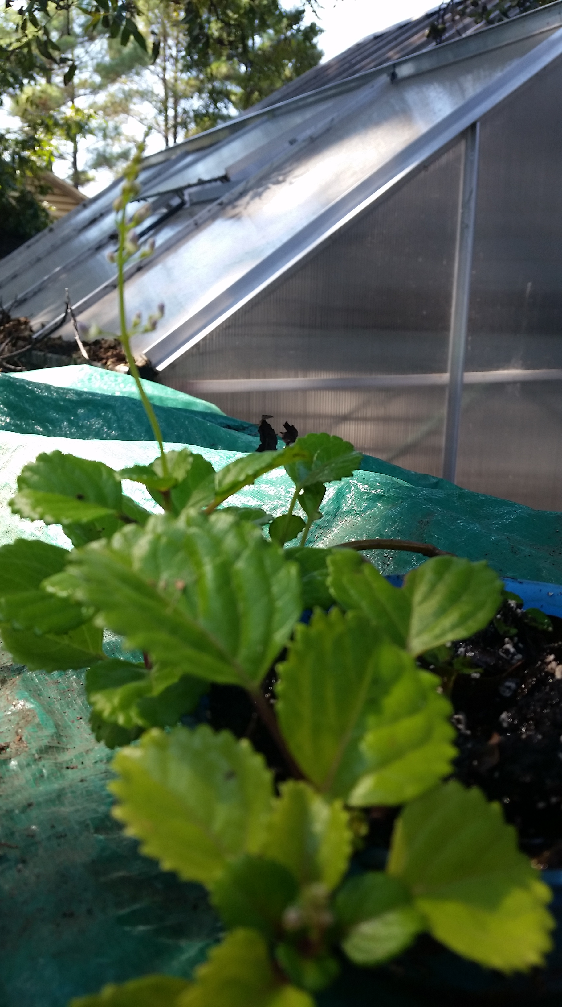 Swedish Ivy A Beginner Plant To Give Serendipity Ripples