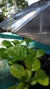 Swedish Ivy Start in shallow bowl